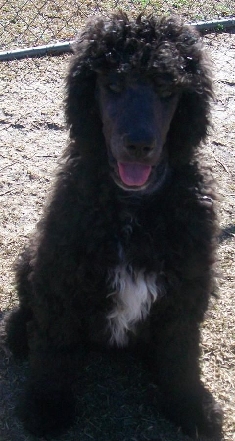 Akc Registered Standard Male Abstract Black Blue Male Poodle Puppy