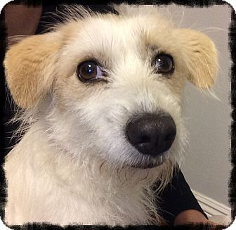 Los Alamitos, CA - Jack Russell Terrier/Terrier (Unknown Type, Small) Mix. Meet Soli, a dog for adoption. http://www.adoptapet.com/pet/14750091-los-alamitos-california-jack-russell-terrier-mix