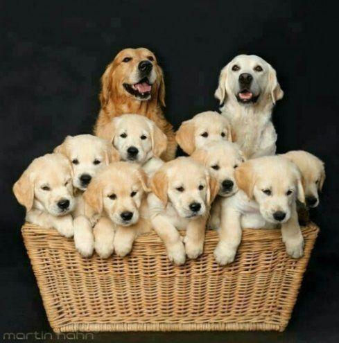 One Happy Golden Retriever Family Puppies Dogs Golden Retriever