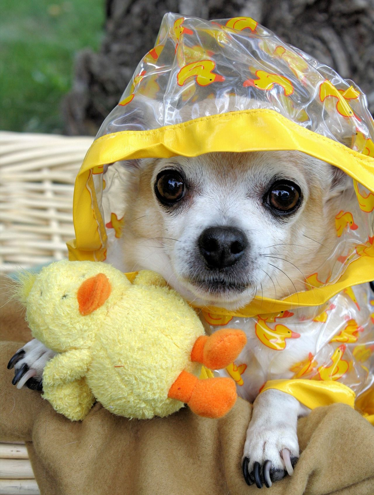 It S Raining Cats Ducks Outside Chihuahua Dog Chihuahua
