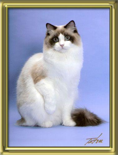 Rw Sgc Galaxyrags Pegasus Seal Mitted Ragdoll Ragdoll Cat Cat Breeder Ragdoll Cat Breeders