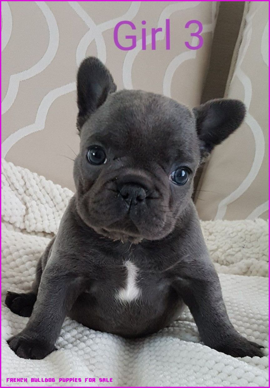 miniature english bulldog puppies for sale near me