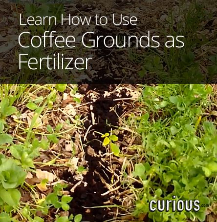 How to use coffee grounds as fertilizer save gardening ideas pinterest gardens planting for How to use coffee grounds in garden