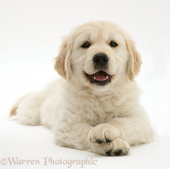 Smiley Golden Retriever Pup Lying Head Up Paws Crossed