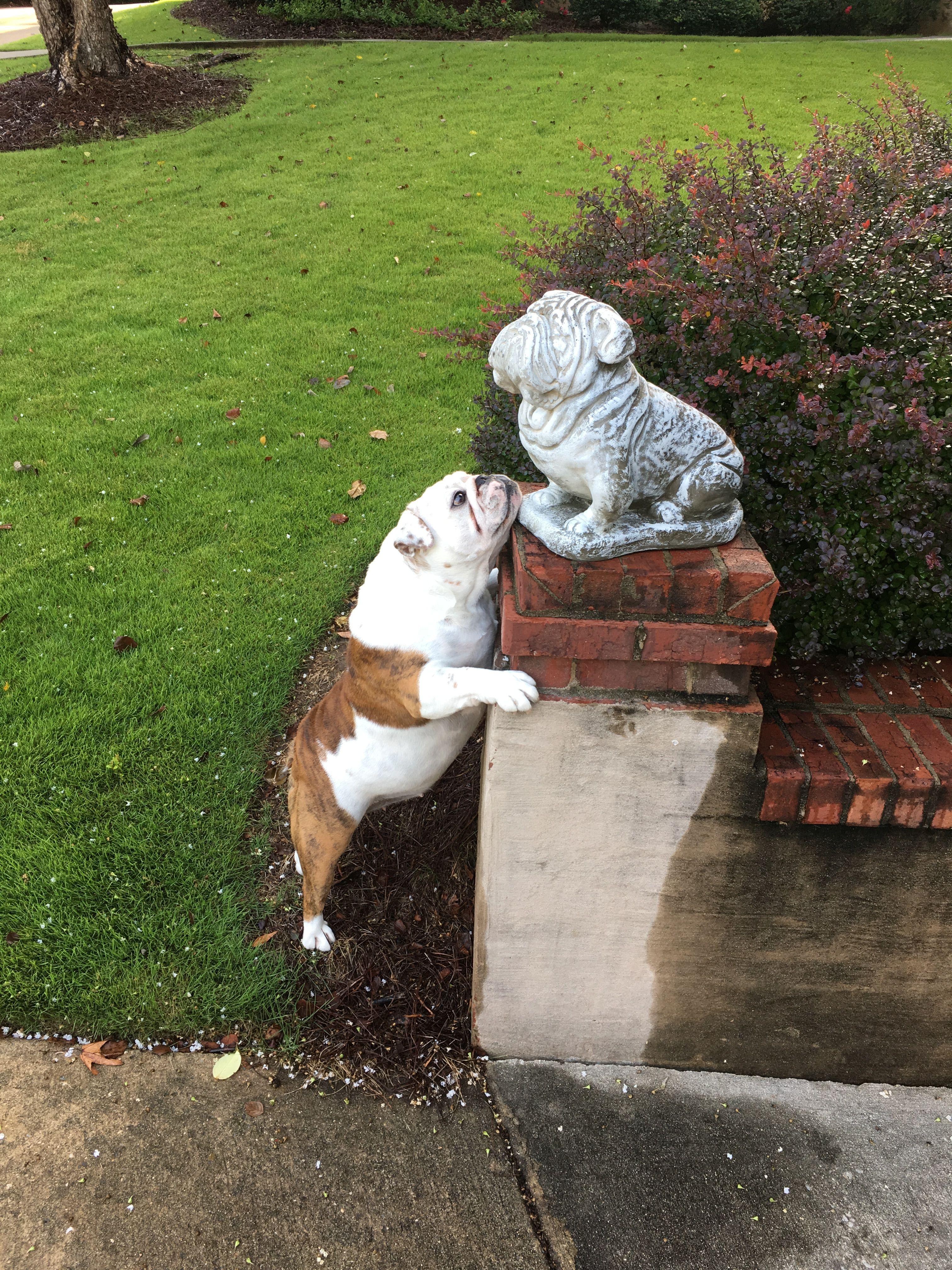 Bulldog Want To Play Carson S Pin S Bulldog Breeds Funny