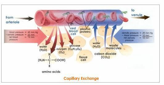 Fluid Moves From The Arterial End Toward The Venous End Of A