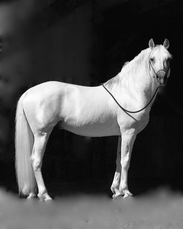 "Pure Spanish Andalusian Stallion ""Romancero de Evelon"""