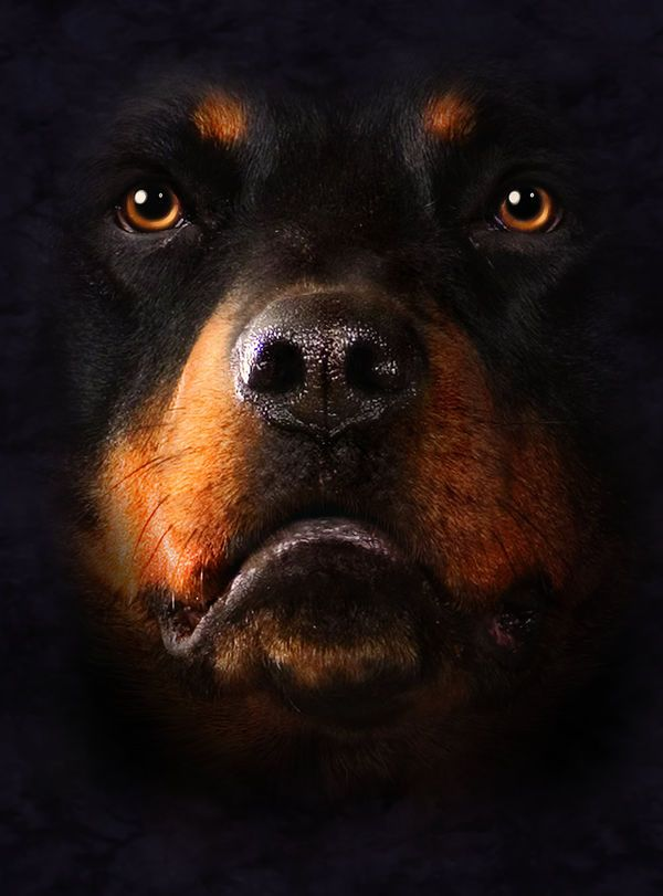 Rottweiler Sleeping Wallpapers Hd Buscar Con Google Rottweiler