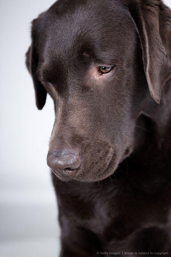 Cape Cod Collegiate This Is A Schmoopy Face If I Ever Saw One Chocolate Lab Labrador Retriever Puppies Labrador Retriever