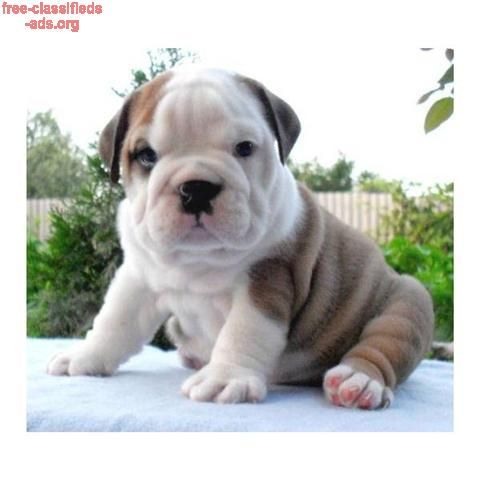 Free Classifieds Ads Org English Bulldog Puppies For Sale