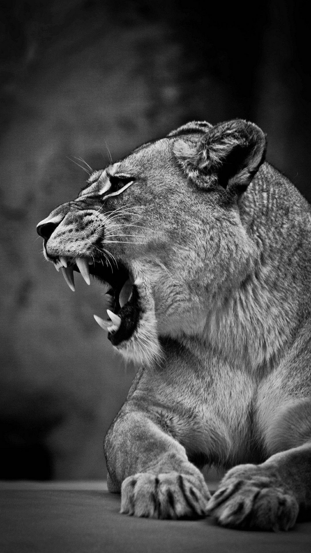 Lioness Wallpaper Animales Animales Majestuosos Stuffed