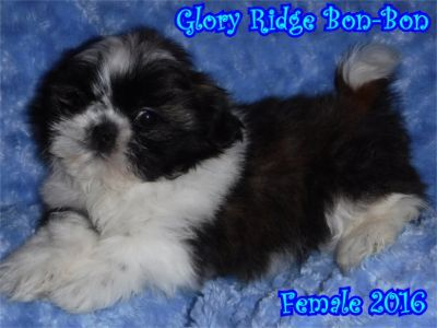 Silver Brindle And White Female Born At Glory Ridge Shih Tzu