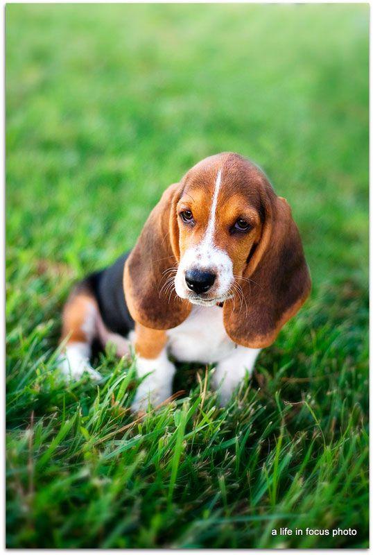 Basset Hound Puppy Google Images Basset Hound Puppy Hound Puppies Basset Hound