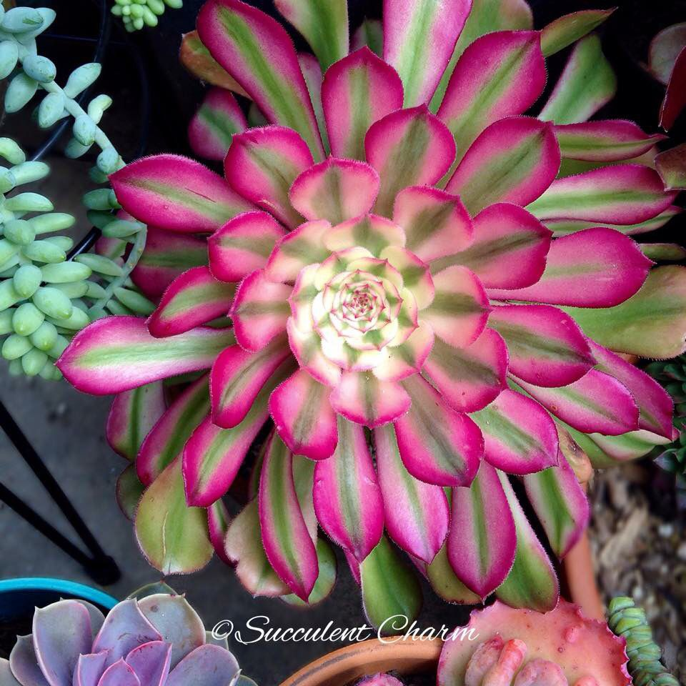 Suculenta jard n suculentas cactus y cactus y suculentas for Vivero de plantas exoticas