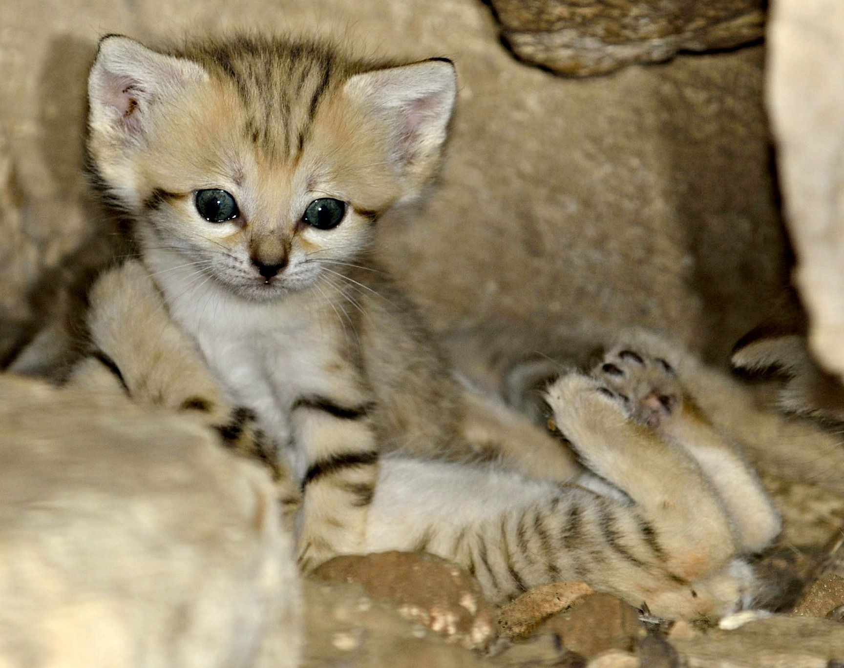 Four little Sand Cat kittens emerge for the first time at Zoo Tel Aviv. These unique felines are specially adapted for desert life but are extinct in the wild in Israel. #desertlife