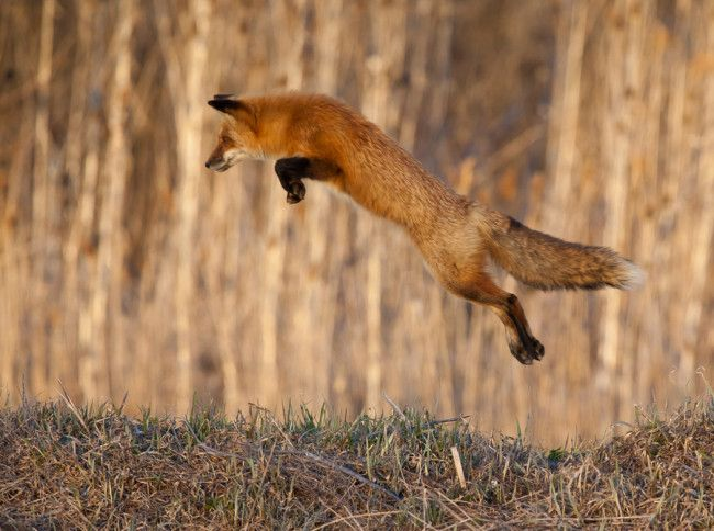 Fox Photo 122 Pictures Red Fox Animals Fox Coloring Page