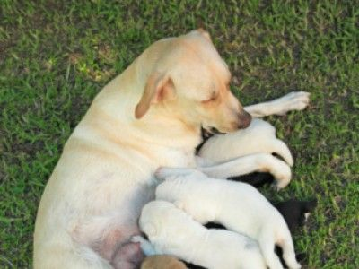 A Guide To Nursing And Weaning Puppies Petside Sophie