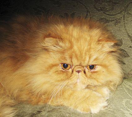 Lost Red Persian Cat Mornington Vic 3931 Lost Cat Cats Persian Cat