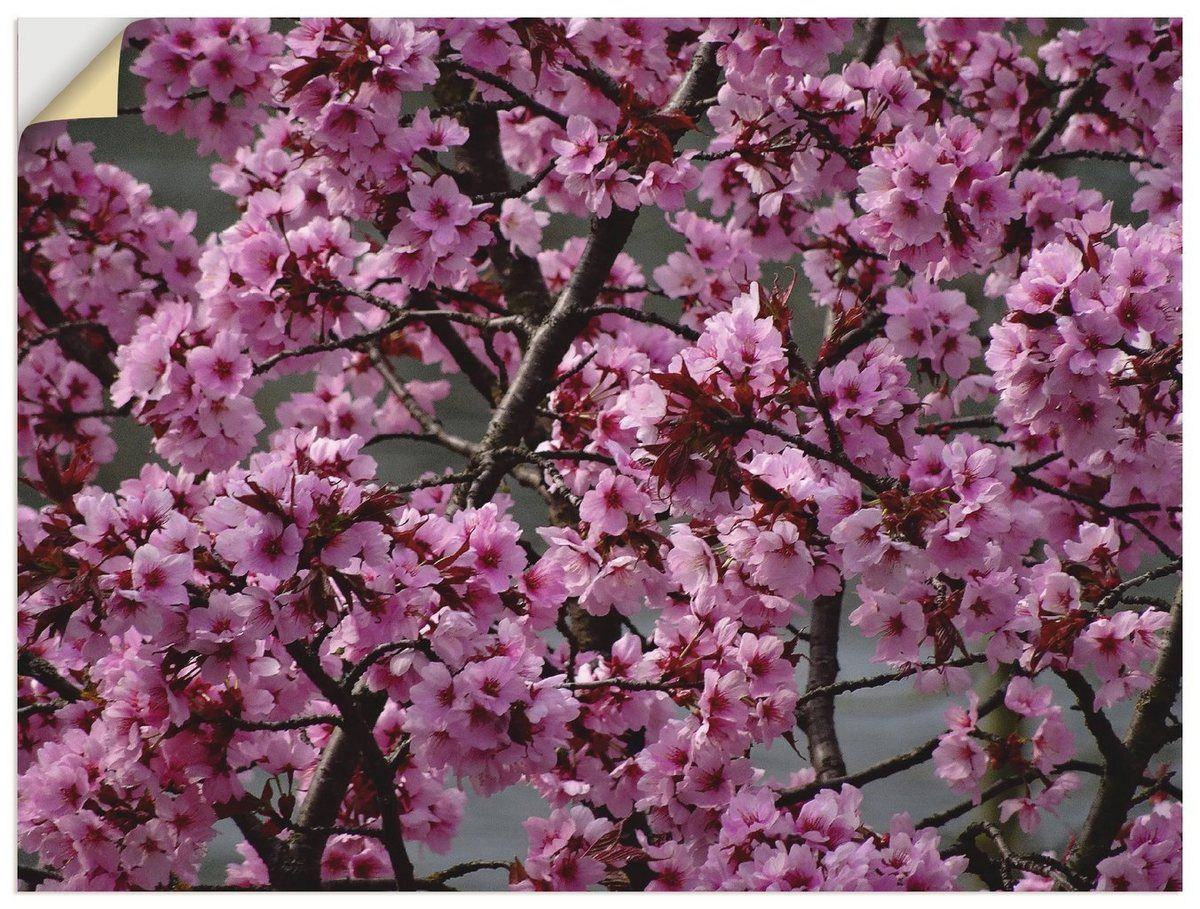 Artland Blute Japanische Kattobello Kaufen Online Otto Premium Wandfolie Zierkirsche Japanese Cherry Blossom Flower Planters Cherry Blossom Wallpaper