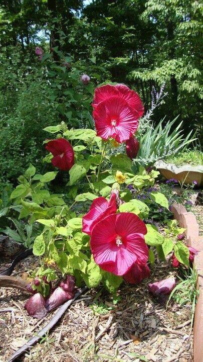 Large red hibiscus
