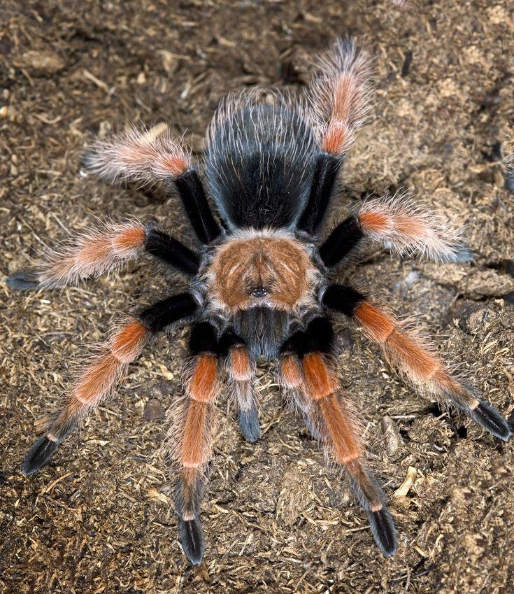 The 10 Best Tarantula Species to Keep as Pets Pet