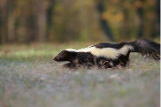 How To Keep Animals From Going Under A Deck Skunk Smell Skunk Spray Getting Rid Of Skunks