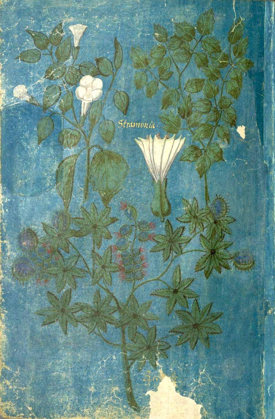«Stramonia» (f°55v) -- «Historische Beschreibung der Kindtauf des Fräuleins Elisabeth zu Hessen …», Wilhelm Dilich, Kassel, 1598 [BSB Cod.icon. 27(1]