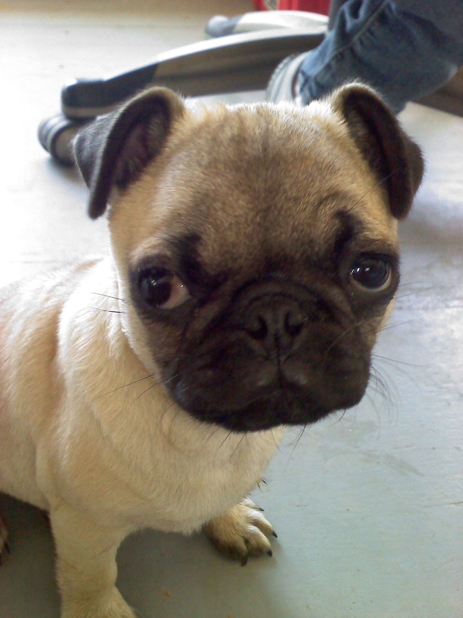 What You Talkin Bout Willis Cute Animals Pug Puppies Pug Love