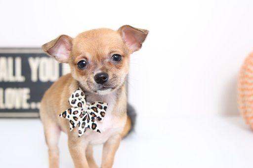Chihuahua Puppy For Sale In Naples Fl Adn 51265 On Puppyfinder