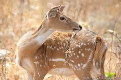 deer love - Yahoo Image Search Results