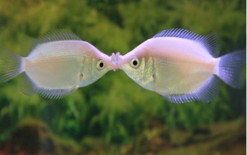 Happy Valentine S Day The Popular Kissing Gourami Or Kisser Originates From Java The Com Kissing Gourami Tropical Freshwater Fish Animals Kissing