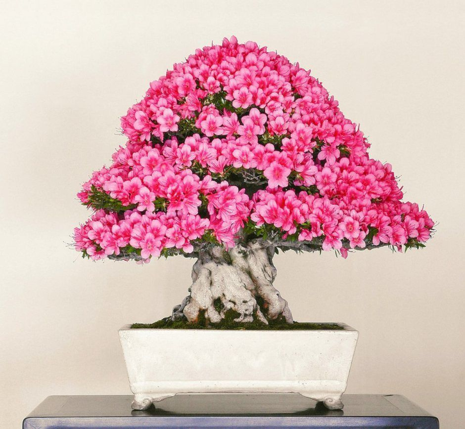 An Absolutely Stunning Azalea Bonsai By The Crespi Bonsai Museum Bonsai Azalea Bonsaitree Bonsai Tree Bonsai Azalea Bonsai Tree Care