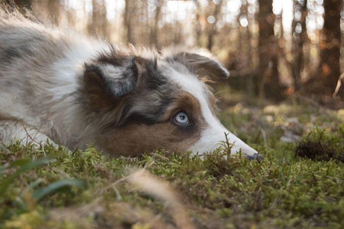 Australian shepherd (c) Karolína Volná