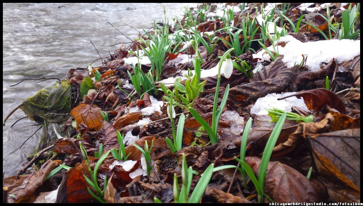 Pierwsze Polne Kwiaty Przebisniegi Sniezyczki Flowers Spring Flowers Przebisniegi Sniezyczki Kwiaty Wczesna Wiosna Kwiaty Flowers Pol Plants Image