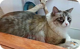 Seattle Wa Norwegian Forest Cat Meet Koda A Cat For Adoption Http Www Adoptapet Com Pet 15829716 Seattle W Norwegian Forest Cat Cat Adoption Forest Cat