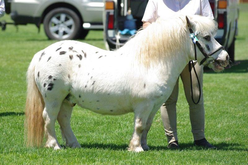 Le corps dans son ensemble - Un poney tacheté au modèle | Horses ...