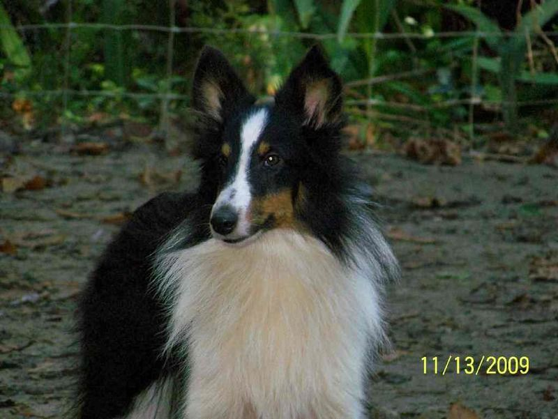 Adopt Max On Shetland Sheepdog Sheltie Collie Rescue