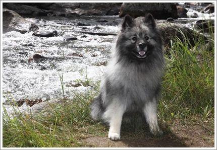 ค ชอนเป นส น ขขนาดปานกลาง ด แข งแกร ง เด ดเด ยว สมก บเป นส น ขสายพ นธ ทางเหน อ ม ความคล ายคล งก บส น ขจ งจอก ขนฟ หนา Fluffy Dog Breeds Keeshond Dog Breeds