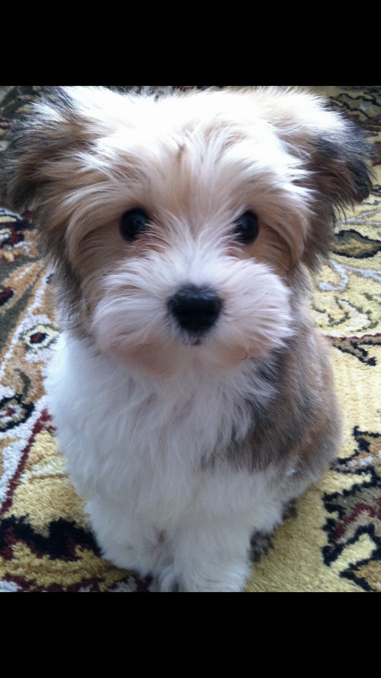 Sweet Charlie Morkie Puppies Dog Lovers Diy Morkie