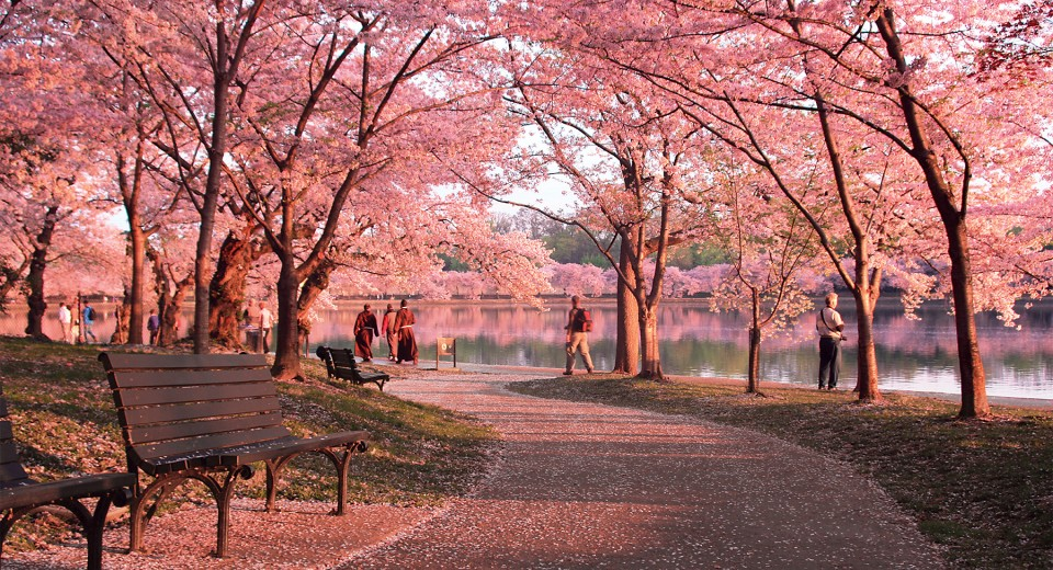 Check Out The Cherry Blossoms Springtime In Washington Dc Studentuniverse Travel Blog Blossom Trees Cherry Blossom Festival Cherry Blossom Tree