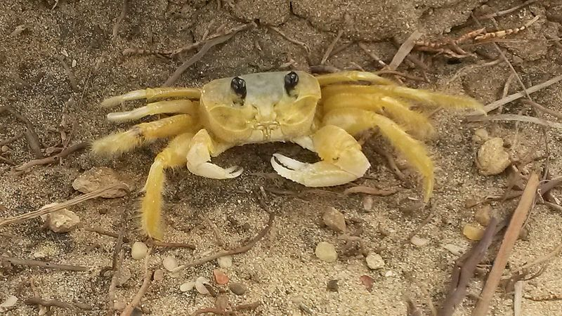 cangrejo-crab7
