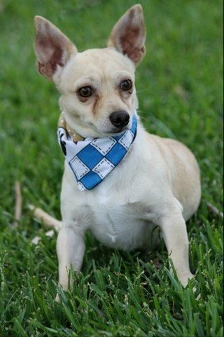 Rollie Chihuahua Young Male Small Humane Society Of Southeast Texas Beaumont Tx Animal Shelter Adoption Cute Animals Dog Adoption