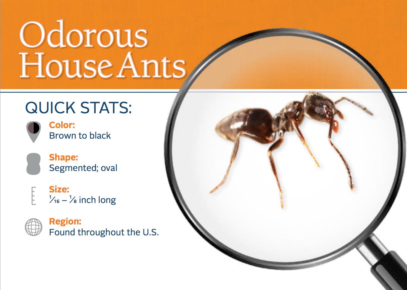Little Black Ants In Kitchen 25 Best Ideas About Odorous House Ants On Pinterest Ants In