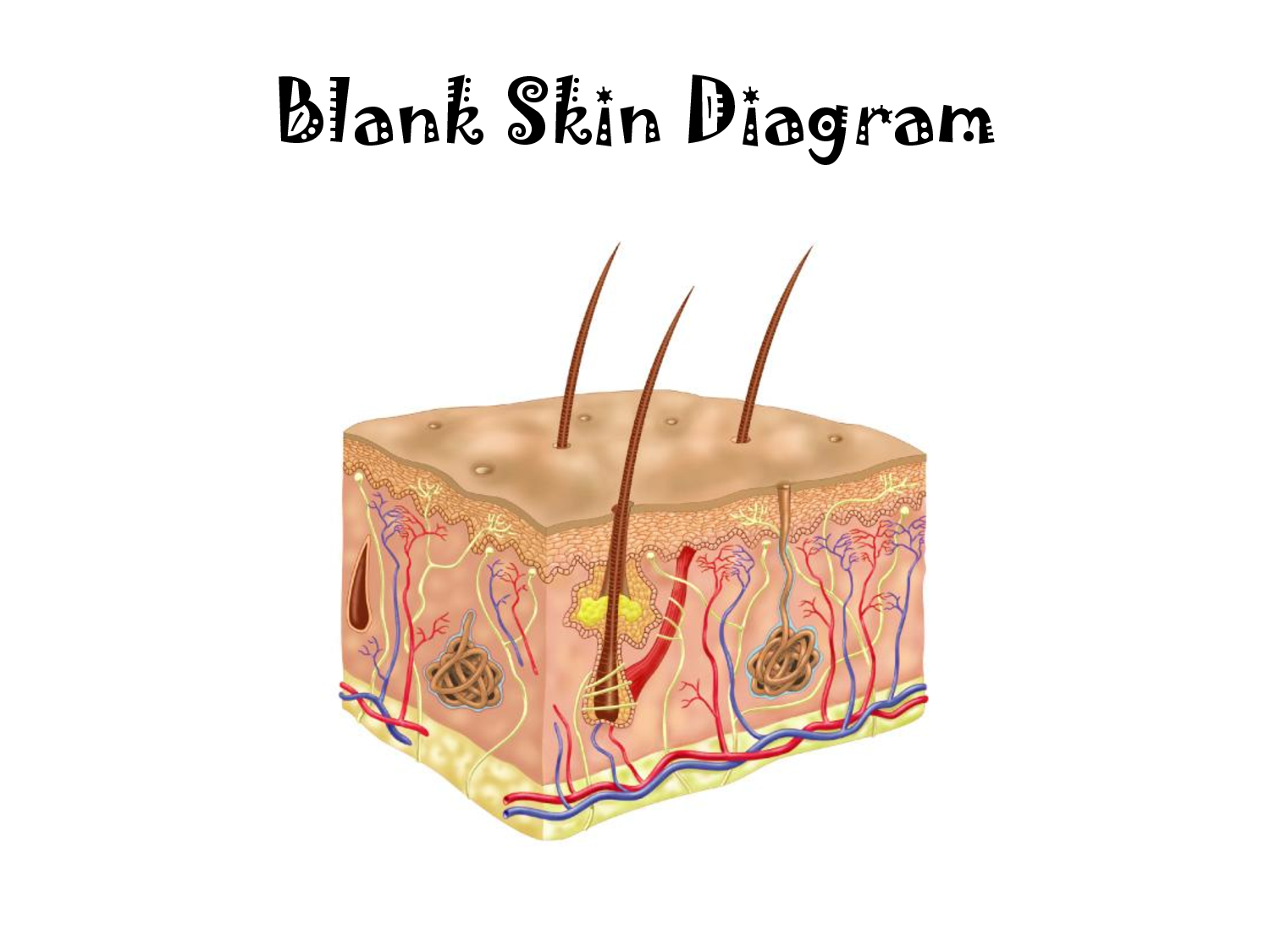 Blank Skin Diagram | Challenge A | Pinterest | Diagram and ...