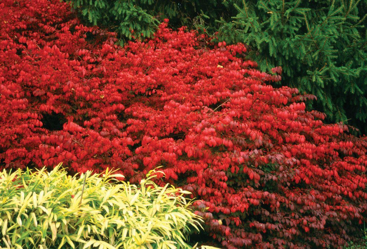 Fire Ball Burning Bush Euonymus Alatus Euonymus Alatus Bushes And Shrubs Fall Plants