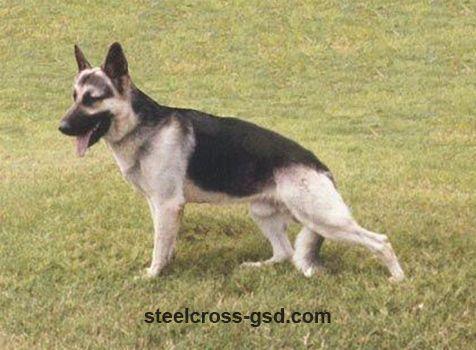 Breed All About It German Shepherd German Shepherd Puppies