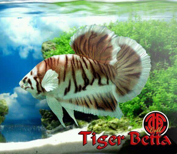 Tiger Betta Ikan Akuarium Binatang Ikan Cupang