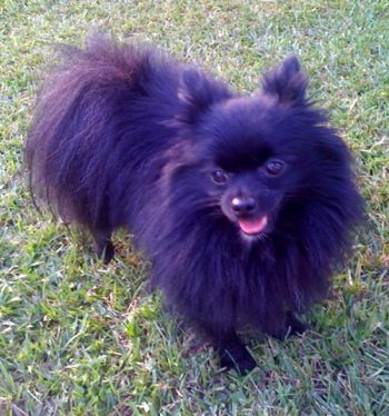 Gizmo Kujo S Brother He Is A Purebred Black Mismark Pomeranian Pomeranian Dog Dog Breeds Cute Animals