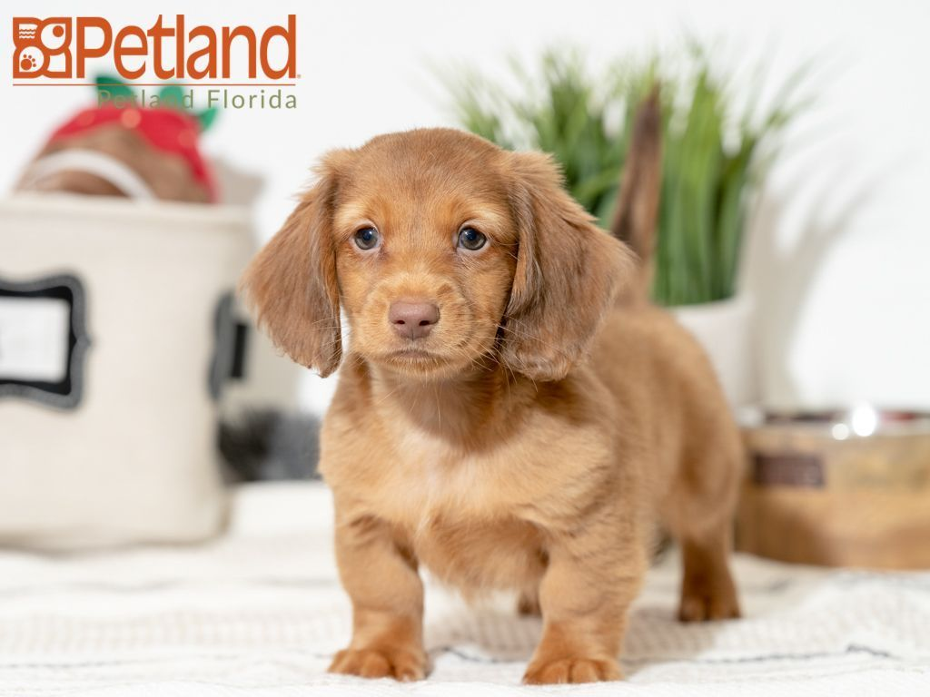 Cj Male Akc Mini Dachshund Puppy For Sale In Fort Lauderdale