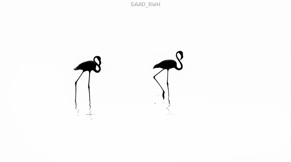 This picture was taken of flamingos in black and white